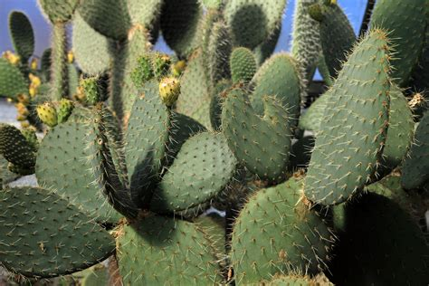 gambar bunga kaktus