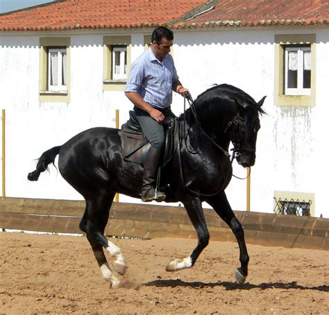 lusitano cavalo puro dressage sangue stallion lusitanos cavalos caballo horse wikipedia portugal caballos commons kadenz pre pferde wikimedia jinete andaluz