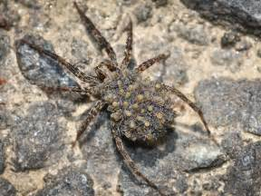 What Do Wolf Spiders Look Like