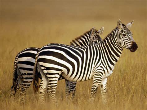 zebra wallpaper african zebra pictures