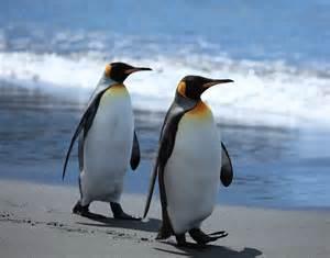 file king penguins walking on the beach 5848675669 jpg