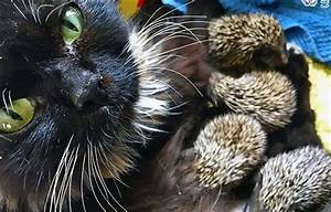 cat becomes new to 8 orphaned hedgehog babies i can