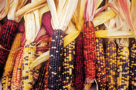 colored corn colored corn photograph by tim canwell