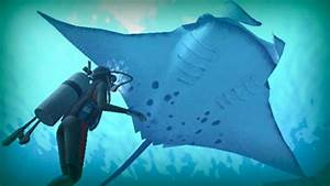 Manta Ray  A Giant Of The Ocean