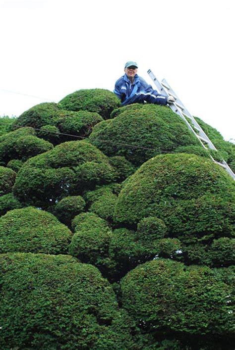 niwaki   amazing yew tree