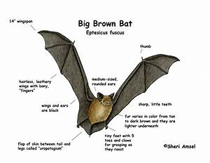 Little Brown Bat Diagram