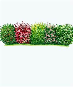 Ilex Hecke Giftig : kaufen sie jetzt heckenpflanze blatthaltende hecke kaufen ~ Lizthompson.info Haus und Dekorationen