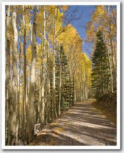 Aspen Forest San Francisco Peaks Arizona