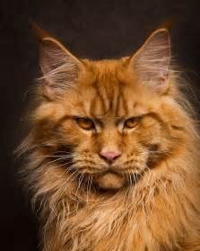 maine coon cat maine coon cats photographed as majestic mythical beasts