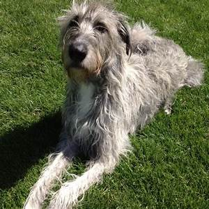 Irish Wolfhound Great Dane Mix
