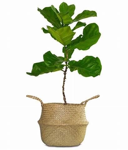 Indoor Plants Tree Leaf Fig Trees Fiddle