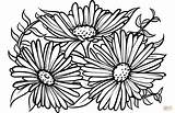 Coloring Aster Pages Drawing Asters Printable Flowers Supercoloring Categories sketch template