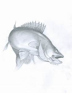 Walleye Fish Drawing