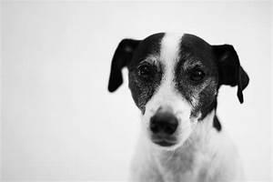 Black & White Jack Russell in Black & White