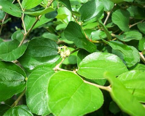 mengenal tanaman bidara  manfaatnya bagi kesehatan