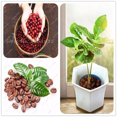 10 pcs bag fresh coffee beans seed home grown cocoa bean