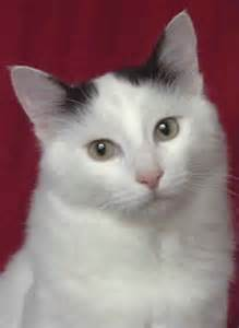 Black and White Turkish Van Cat