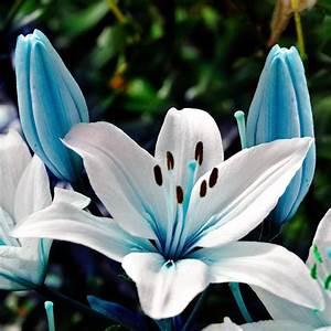 Fleur De Lys Plante : 50pcs graines de fleur de lis lys bleu jardin plantation ~ Melissatoandfro.com Idées de Décoration