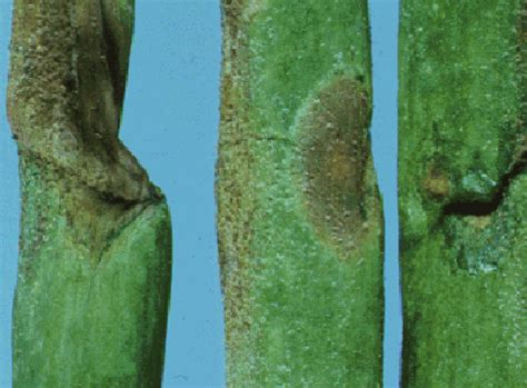 http://web.entomology.cornell.edu/shelton/veg-insects-global/graphics/dmildew/dmildew6gif.html