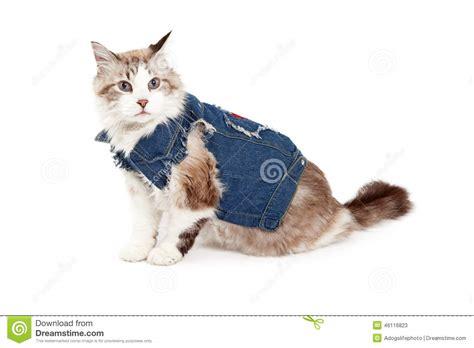 stylish cat stylish ragdoll cat wearing a jean jacket stock photo image 46116823