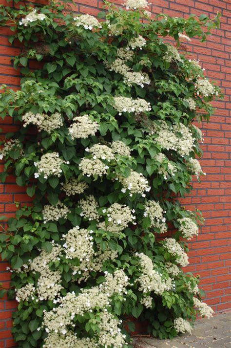 Climbing Hydrangea Seeds Hydrangea Anomala By