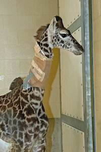 Young Giraffe Ailing Again As 2 Vertebrae In Neck Start To Fuse