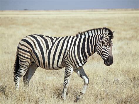 FileBurchell's Zebra (Etosha)jpg Wikipedia