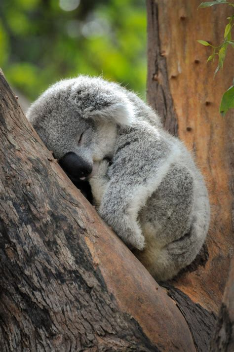 Baby Animals Hd Wallpapers - baby koala wallpapers baby animals