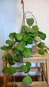 Hoya Kerrii House Plants My Wierd Obsession Pinterest