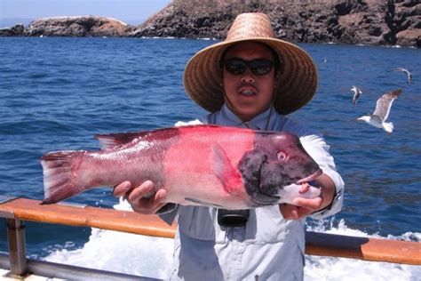 california sheephead fish  sheephead channel islands