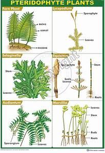 B-90 Pteridophyta Plants