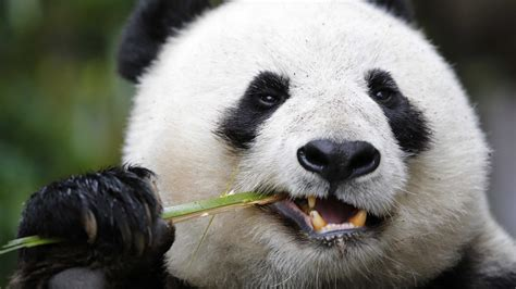 wallpaper panda giant panda zoo cute animals animals