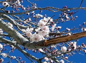 Rosa Blühender Baum Im Frühling : pin fruehling baum mit voegeln on pinterest ~ Lizthompson.info Haus und Dekorationen