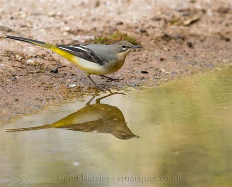 grey wagtail stuartpicscouk photography  geoff harries