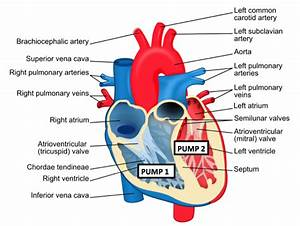 The Heart Is A Double Pump