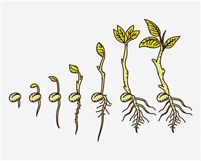Growing Seed Clipart Cartoon Plants Drawn Plant