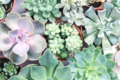 How to Grow Healthy Succulent Plants - Pine Dove Farm