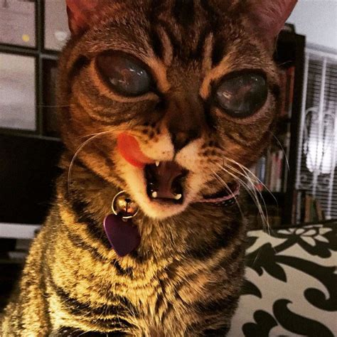 This Cat Has The Biggest Eyes I Have Ever Seen (11 Photos