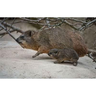 Hyrax - ZooBorns
