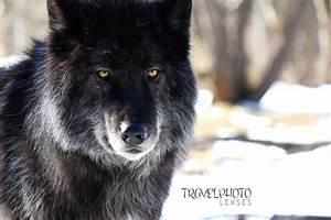 Black Wolf Puppies