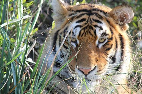 bengal tigers thrive  tiger canyon   state