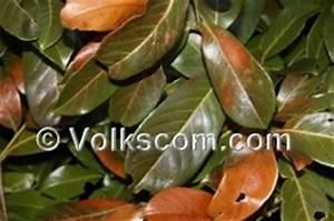 Kirschlorbeer Ohne Beeren : frostschaden garten k lteschaden schaden durch frost an pflanzen ~ Yasmunasinghe.com Haus und Dekorationen