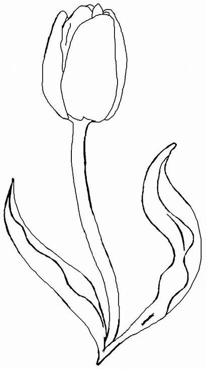 Bunga Gambar Tulip Coloring Mewarnai Printable Flower