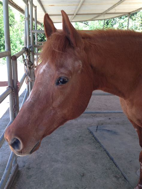 2 Year Old Quarter Horse