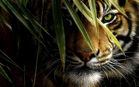 tiger hd wallpapers  wallpaperplay