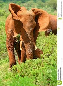 African Elephant In The Wild Royalty Free Stock ...