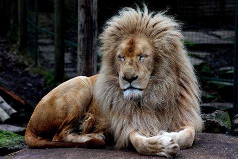 meet white lions  hertfordshire paradise wildlife park