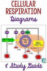 Cellular Respiration Diagram Simple