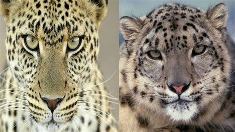 leopard snow leopard  differences youtube