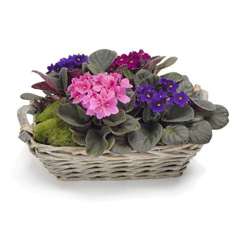 african violet plant pot flowers plants delivery poland